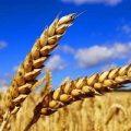 قیمت بهترین انواع سبوس گندم دامی امسال چقدر است ؟
